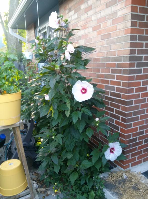 White Hibiscus 2